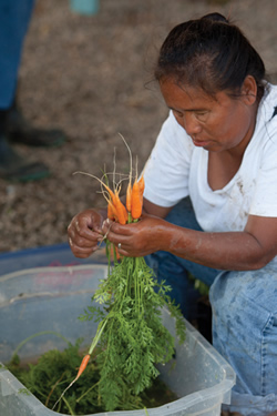 Refugee Ma Than prepares carrots for sale at the farmers market.
