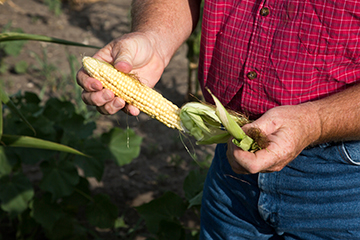 The drought has taken its toll on this year's corn crop. The cobs are about half the size they should be and the kernels are shriveled. Some farmers won't even harvest their corn this season — instead, they will plow it under and lose their crop.